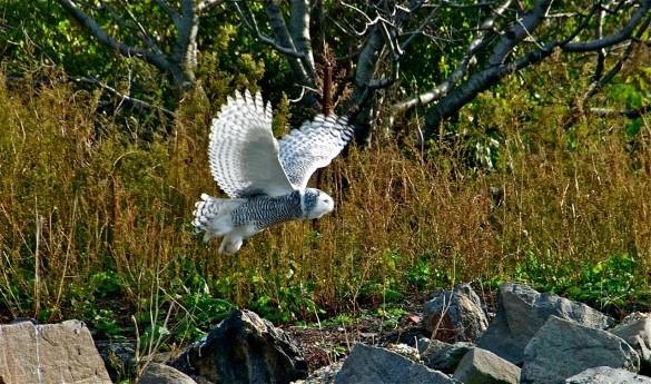 Amazing Winged Wonder Dappled Snowy Owl
