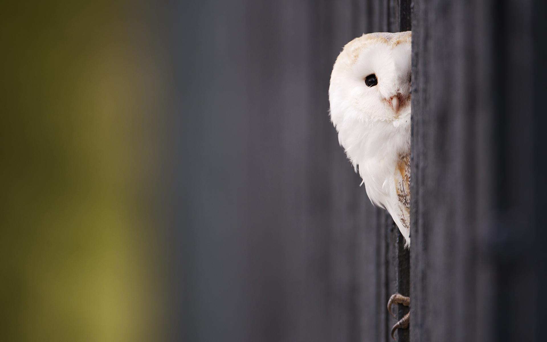 Barn Owl-HD